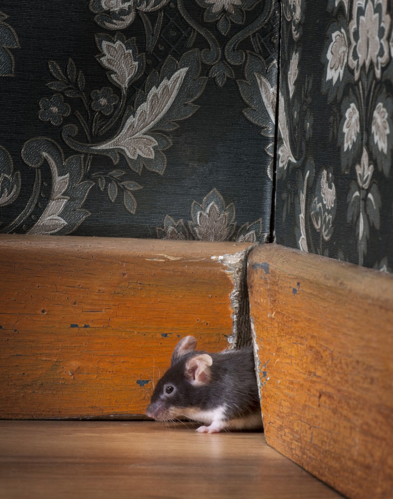 mouse coming out of anne arundel county rental property