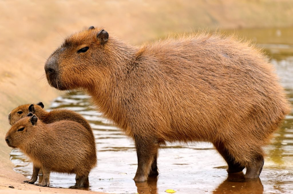 capybara-pets-maryland-rental-properties