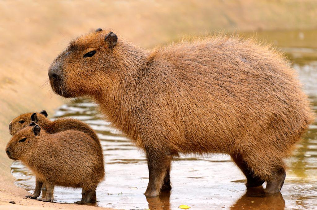 capybara-pets-maryland-rental-properties