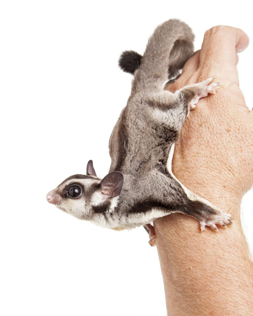 some-maryland-property-managers-accept-sugar-glider-pets