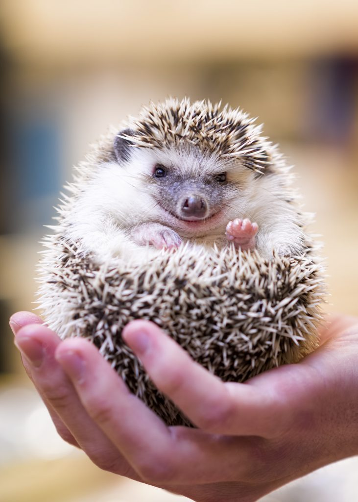 hedgehogs-allowed-some-maryland-property-managers